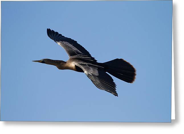 Anhinga Greeting Cards - Anhinga plane over the blue sky Greeting Card by Andres Leon