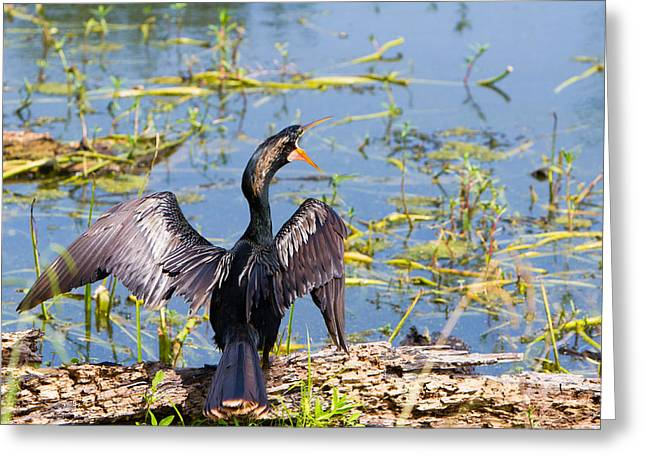 Wild Bird Greeting Cards - Anhinga shouts Greeting Card by Ellie Teramoto