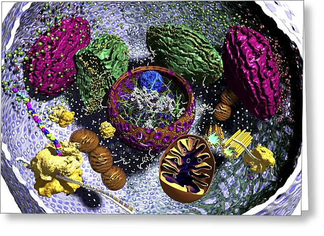 Animal Mitochondria Greeting Cards - Animal cell organelles, artwork Greeting Card by Science Photo Library
