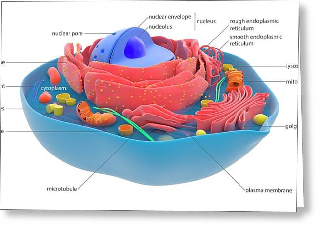 Animal Cell Greeting Card by Science Photo Library