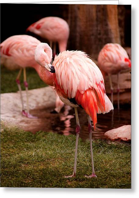 Hanging Out Greeting Cards - Animal - Flamingo - The Flamingo Greeting Card by Mike Savad