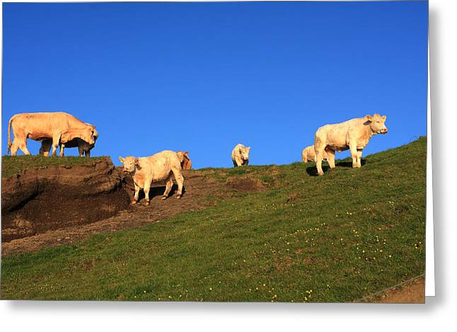 Most Photographs Greeting Cards - White Cows At The Cliffs Of Moher Greeting Card by Aidan Moran