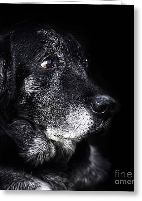 Old Labrador Greeting Cards - Animal - old dog Greeting Card by Mythja  Photography