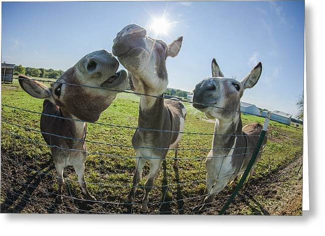 Conceited Greeting Cards - Animal Personalities Snooty Conceited Donkeys Tell Gossip Greeting Card by Jani Bryson