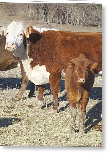 Cow Images Photographs Greeting Cards - animals cows photography THE CURIOUS CALF  in color Greeting Card by Ann Powell