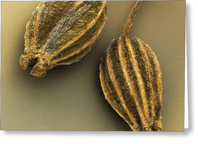 Aniseed Greeting Cards - Anise, Sem Greeting Card by Power And Syred