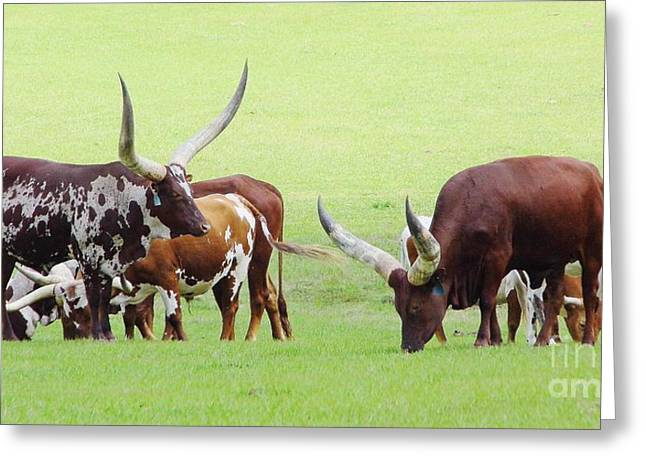 Cloven Hoof Pets Greeting Cards - Ankole And Texas Longhorns Greeting Card by D Hackett