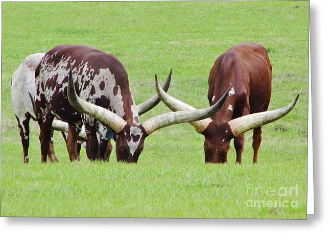 Cloven Hoof Pets Greeting Cards - Ankole Longhorn Cattle Greeting Card by D Hackett