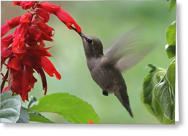 Hovering Greeting Cards - Anna Hummingbird in Salvia Greeting Card by Angie Vogel