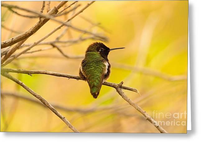 Landscape Framed Prints Greeting Cards - Annas Hummingbird 48x72 Print Greeting Card by John Tsumas