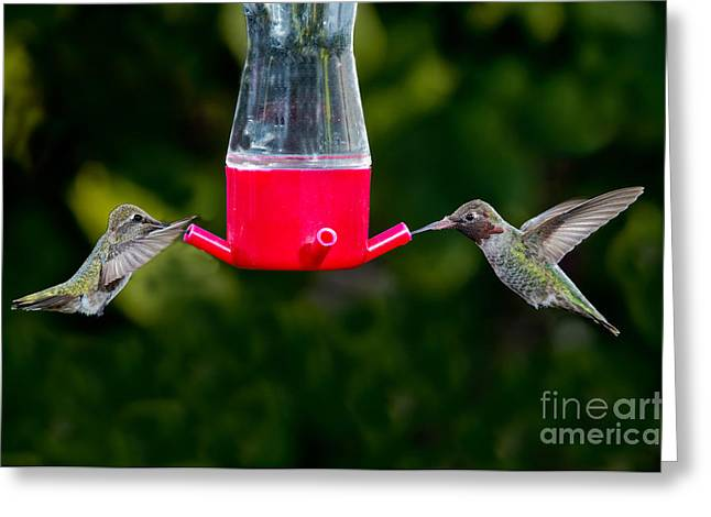 Feeding Birds Greeting Cards - Annas Hummingbird Pair At Feeder Greeting Card by Anthony Mercieca