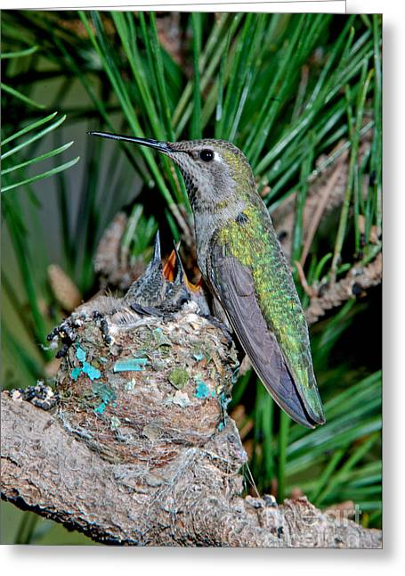 Feeding Young Greeting Cards - Annas Hummingbird With Young Greeting Card by Anthony Mercieca