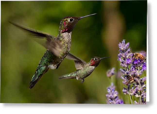 Hovering Greeting Cards - Annas Hummingbirds in Flight Greeting Card by Kathleen Bishop