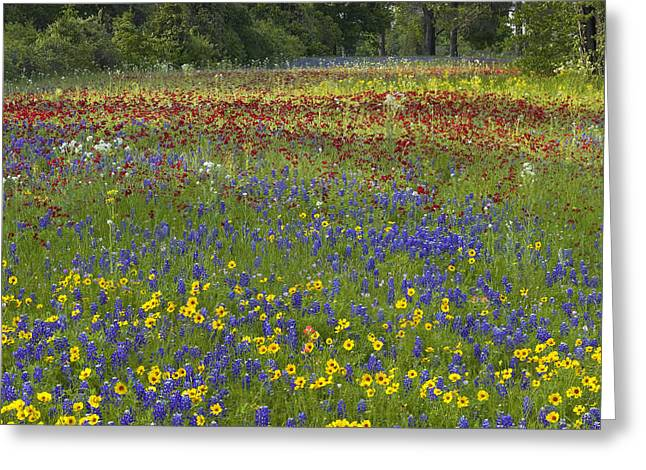Tickseed Greeting Cards - Annual Coreopsis Texas Bluebonnet Greeting Card by Tim Fitzharris