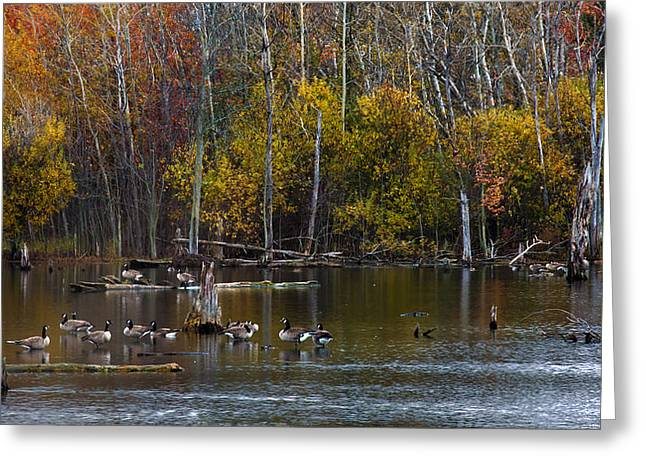 Geese Greeting Cards - Annual Meet and Greet at the Pond Greeting Card by Robin Webster