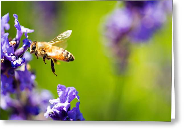 Bee In Flight Greeting Cards - Another Bee and the Lavender Greeting Card by Vicki Jauron