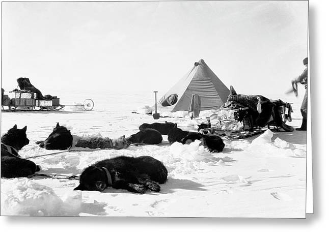 Antarctic Sled Dogs Greeting Card by Scott Polar Research Institute