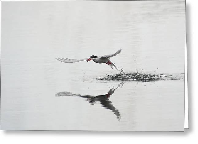 Antarctic Tern Fishing Greeting Card by John Shaw