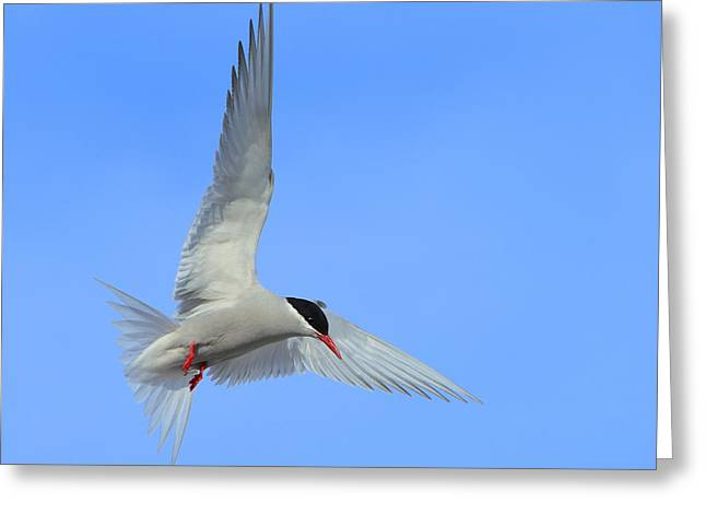 Antarctic Tern Greeting Card by Tony Beck
