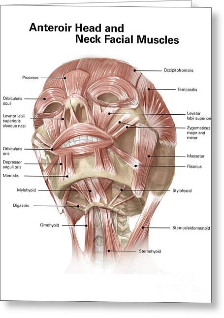 Biomedical Illustrations Greeting Cards - Anterior Neck And Facial Muscles Greeting Card by Alan Gesek