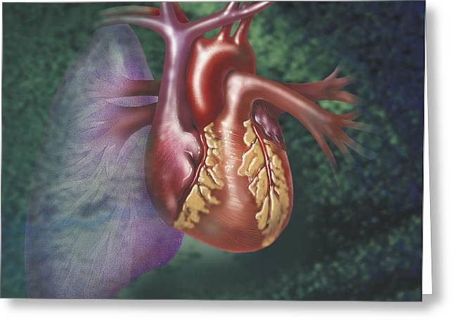 Illustration Technique Greeting Cards - Anterior View Of Heart And Lung Greeting Card by TriFocal Communications
