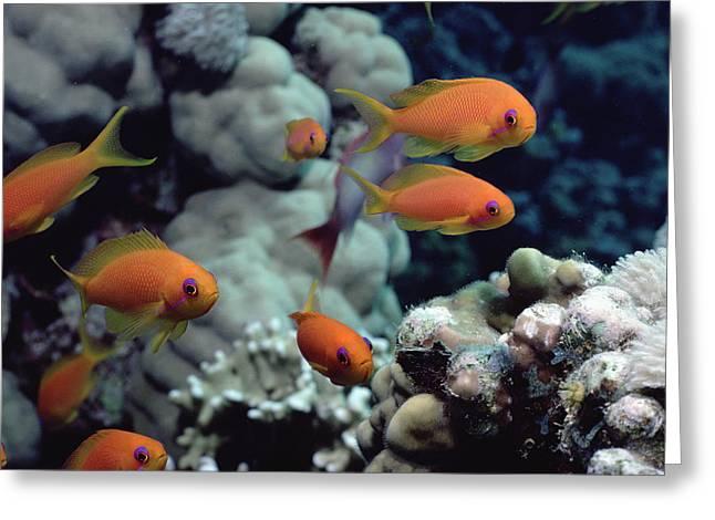 Reef Fish Greeting Cards - Anthias Near Sinai Red Sea Greeting Card by Flip Nicklin