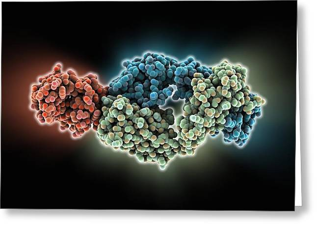Fab Greeting Cards - Antibody fragment-lysozyme complex Greeting Card by Science Photo Library