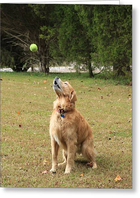Dog With Tennis Ball Greeting Cards - Anticipation Greeting Card by Lorna Rogers Photography
