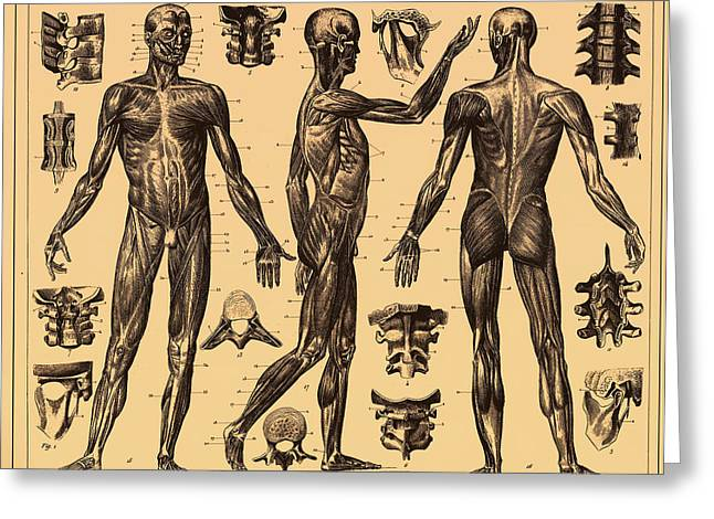 Tendon Greeting Cards - Antique Poster of the Human Body Greeting Card by Mountain Dreams