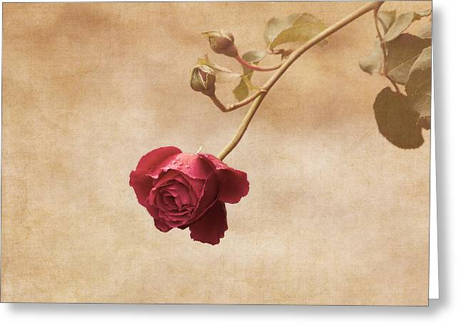 Rain Drop Greeting Cards - Antique Rose Greeting Card by Kim Hojnacki