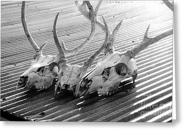 Tin Roof Greeting Cards - Antlers on Tin Roof Greeting Card by Thomas R Fletcher