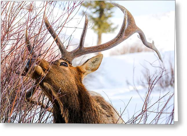 White Thick Fur Greeting Cards - Antlers Greeting Card by Thomas Szajner