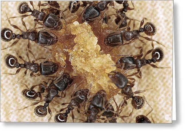 Eating Entomology Greeting Cards - Ants feeding Greeting Card by Science Photo Library
