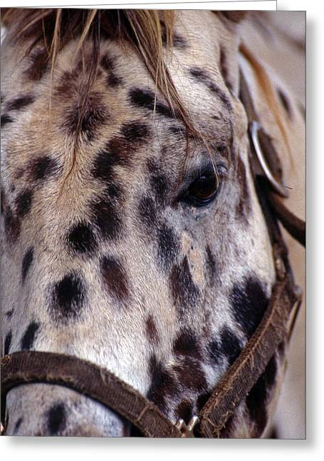 Horse Images Greeting Cards - Appaloosa Greeting Card by Skip Willits
