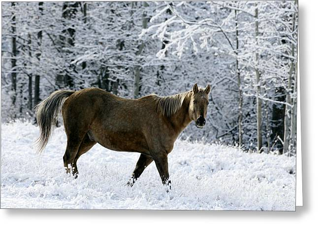 Horse Breed Greeting Cards - Appaloosa Walking In Snow Greeting Card by Rolf Kopfle