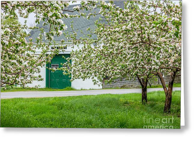 Spring In Maine Greeting Cards - Apple Blossom Barn Greeting Card by Susan Cole Kelly