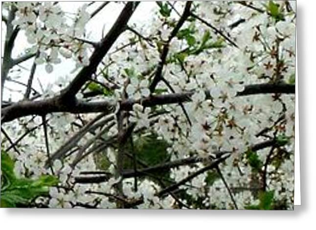 Purchase Greeting Cards - Apple Blossom Branch Greeting Card by Gail Matthews