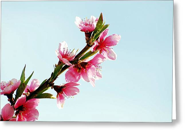 Don Cherry Greeting Cards - Apple Blossom Greeting Card by Don Mann
