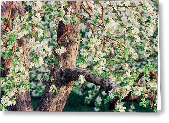 Orchard Greeting Cards - Apple Blossom Flowers, Quebec, Canada Greeting Card by Panoramic Images