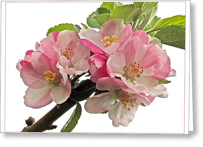 Garden Petal Image Greeting Cards - Apple Blossom Greeting Card by Gill Billington