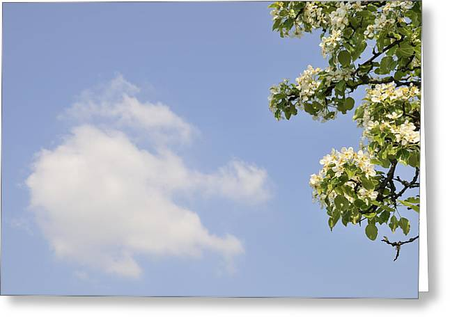 Apple Blossom In Spring Blue Sky Greeting Card by Matthias Hauser