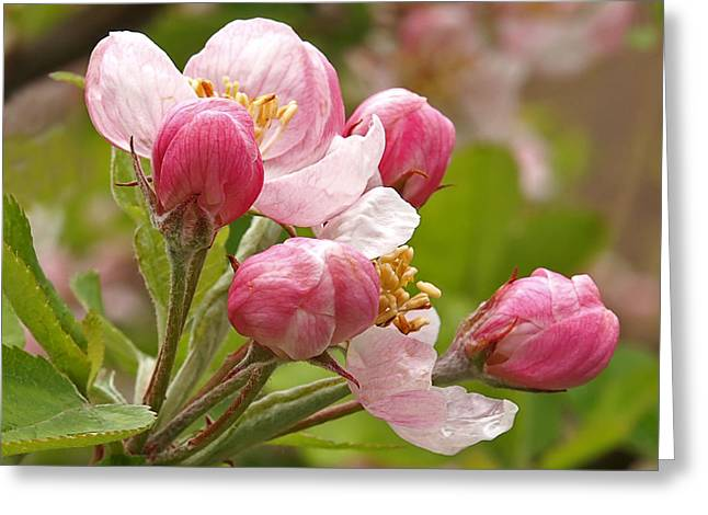 Garden Petal Image Greeting Cards - Apple Blossom Time Greeting Card by Gill Billington