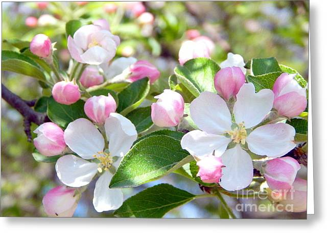 Annapolis Valley Greeting Cards - Apple Blossom Time Greeting Card by Karen Cook