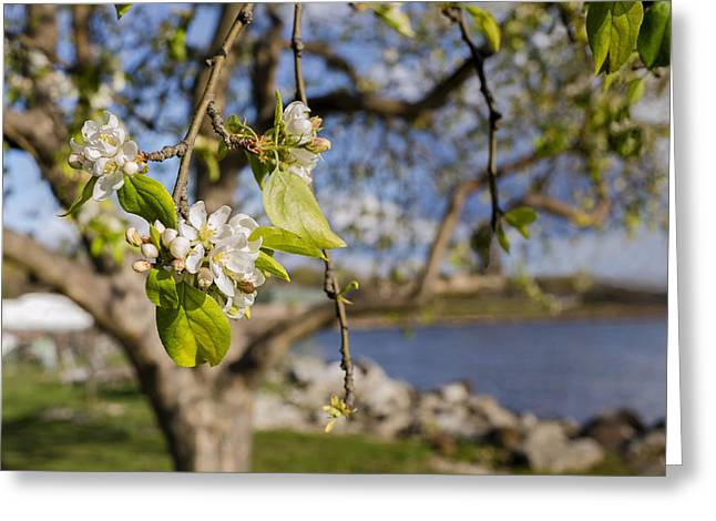 Spur On Greeting Cards - Apple Blossoms by the Hudson River Greeting Card by Marianne Campolongo