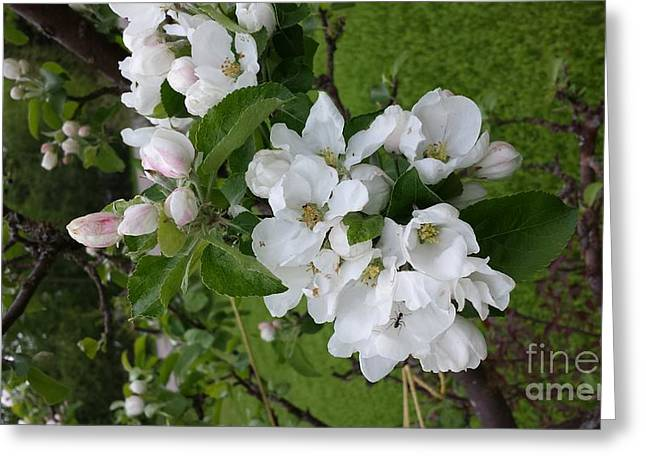 Apple Pyrography Greeting Cards - Apple Blossoms Greeting Card by Cailyn Cave