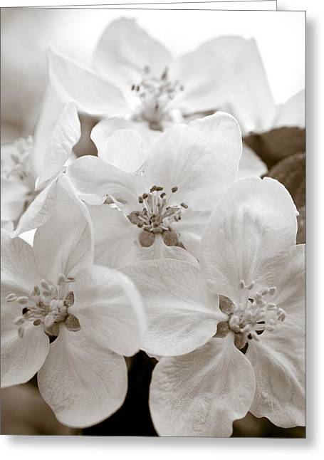 Apple Blossoms Greeting Card by Frank Tschakert
