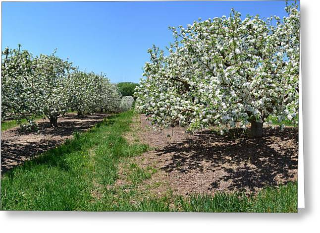 Fruiting Greeting Cards - Apple Blossoms Greeting Card by Michelle Calkins