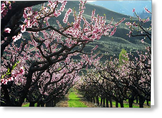 Don Cherry Greeting Cards - Apple Blossoms Oliver BC Greeting Card by Don Mann