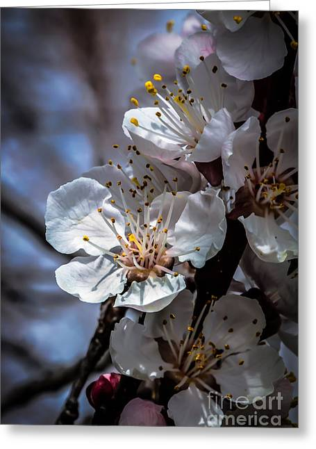 Haybale Greeting Cards - Apple Blossoms Greeting Card by Robert Bales