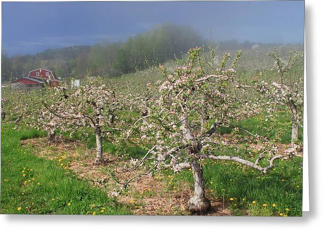Shelburne Greeting Cards - Apple Orchard in Spring Greeting Card by John Burk